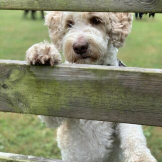 Hund som tittar genom staket